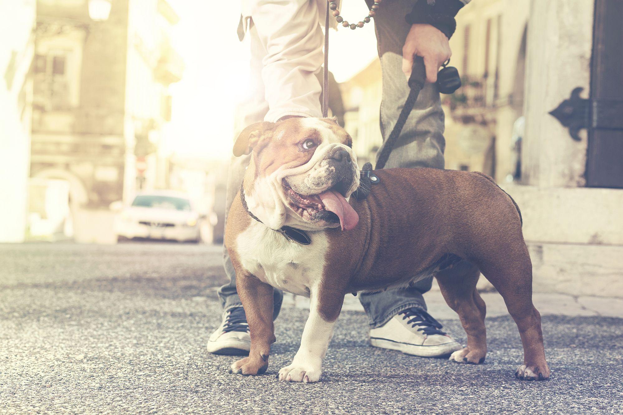 perros braquicefalia