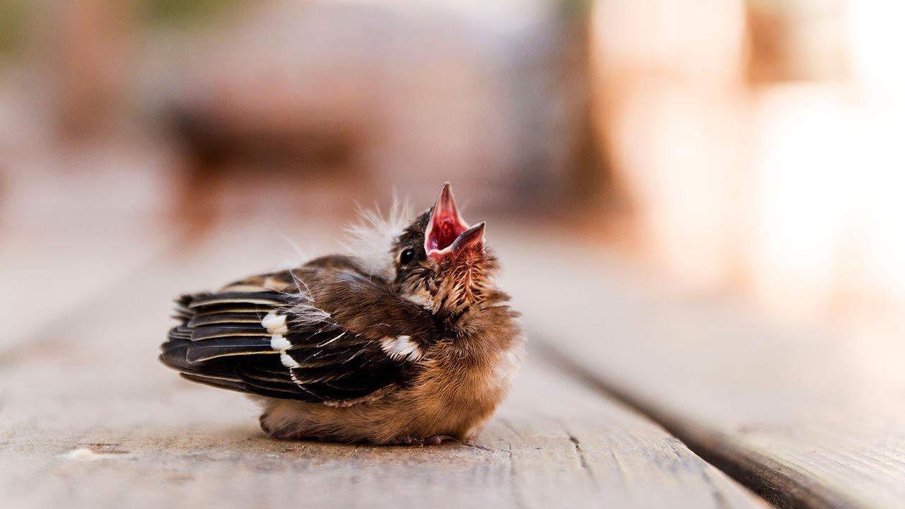 Polluelo huérfano