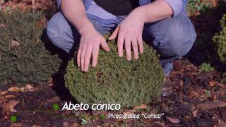 Picea glauca cónica