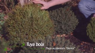 Thuya occidentalis Danica