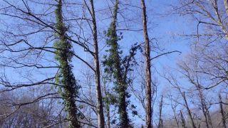 Beneficios de la hiedra para el ecosistema - Árboles con hiedra