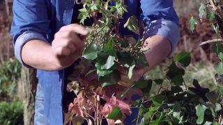 Beneficios de la hiedra para el ecosistema - Frutos de la hiedra