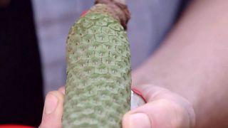 Curiosidades de la Costilla de Adán o Monstera Deliciosa - Fruto