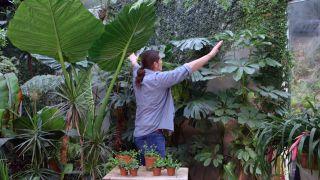 Ficus pumila o ficus trepador - Cubre pared