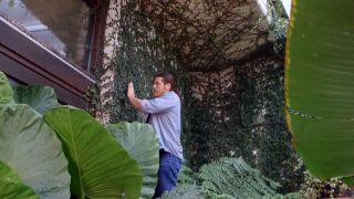 Ficus pumila o ficus trepador - Cuidados