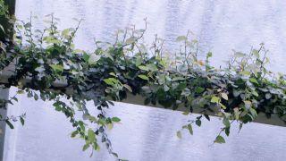 Ficus pumila o ficus trepador - Metal