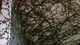 Ficus pumila o ficus trepador - Plagas y enfermedades