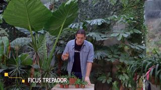 Ficus pumila o ficus trepador - Planta pequeña