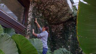 Ficus pumila o ficus trepador - Poda