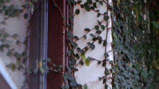 Ficus pumila o ficus trepador - Hormigón