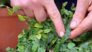 Ficus pumila o ficus trepador - Variedad hoja verde
