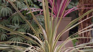 Variedades de cordyline australis - Nuevas variedades