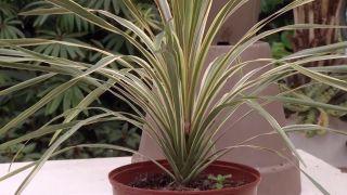 Cordyline australis de hoja variegada