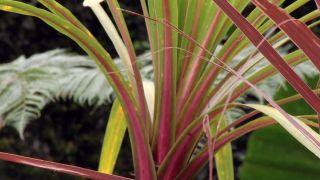 Cordyline australis de hoja verde