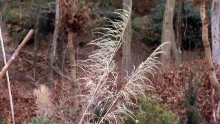 Hierba de la pampa - Inflorescencia o plumero
