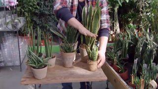Variedades de sansevieria - Sasevieria de hoja ancha