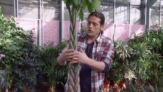 Variedades de sansevieria - Ejemplo de trenzado de tronco