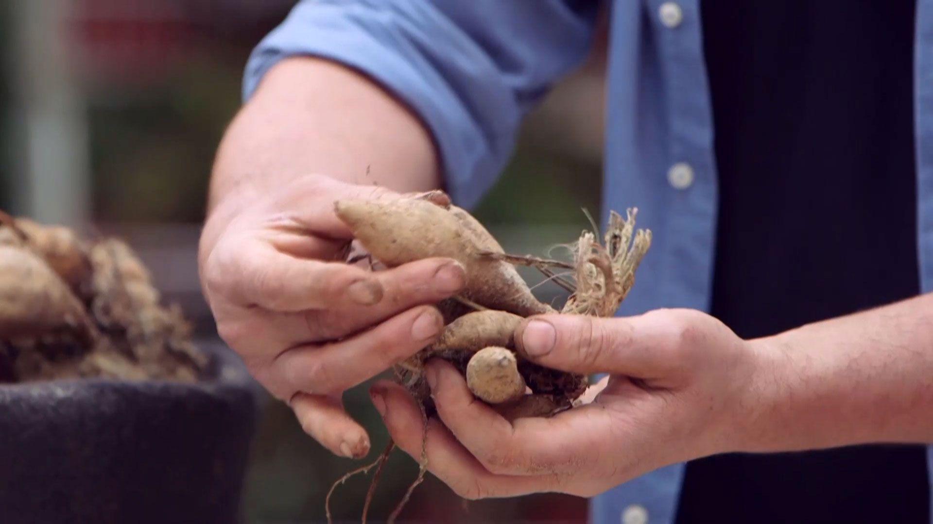 Plantar bulbos de dalias