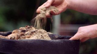 Plantar bulbos de dalias - Bulbos conservados en arena de silice