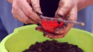 Capsulas de enraizamiento para reproducir plantas por acodo aéreo - Paso 5