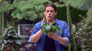 Pilea peperomioides o planta del dinero china - Cuidados