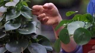 Pilea peperomioides o planta del dinero china - Nombre