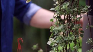 Pilea peperomioides o planta del dinero china - Planta del incienso