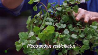 Pilea peperomioides o planta del dinero china - Diferencias con el Plectranthus verticillatus
