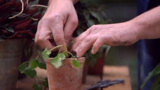Pilea peperomioides o planta del dinero china - Reproducción del Plectranthus verticillatus