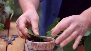 Pilea peperomioides o planta del dinero china - Reproducción