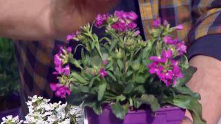 Plantas para rocallas - Arabis