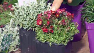 Plantas para rocallas - Asifragas