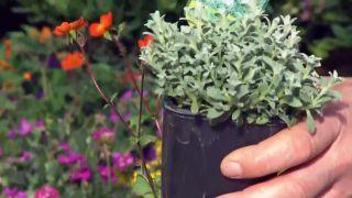 Plantas para rocallas - Cerastium