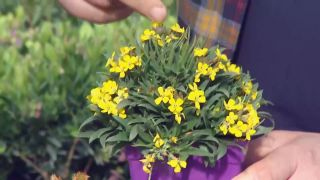 Plantas para rocallas - Erysimum
