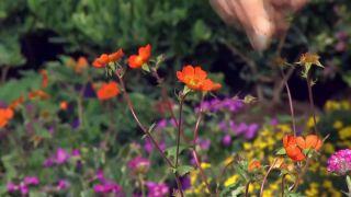 Plantas para rocallas - Geum