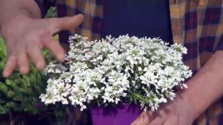 Plantas para rocallas - Iberis