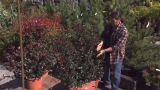 Photinia fraserii red robin - En jardinera