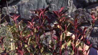 Photinia fraserii red robin - Pinzamiento