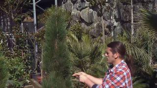 Variedades de coníferas poco convencionales - el Pinus nigra green tower