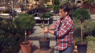 Ejemplos de coníferas injertadas - Pinus nugu mugos