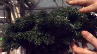 Ejemplos de coníferas injertadas - Juniperus conferta blue pacific
