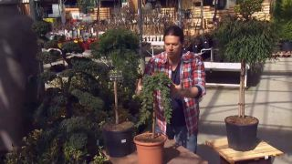 Ejemplos de coníferas injertadas - Juniperus