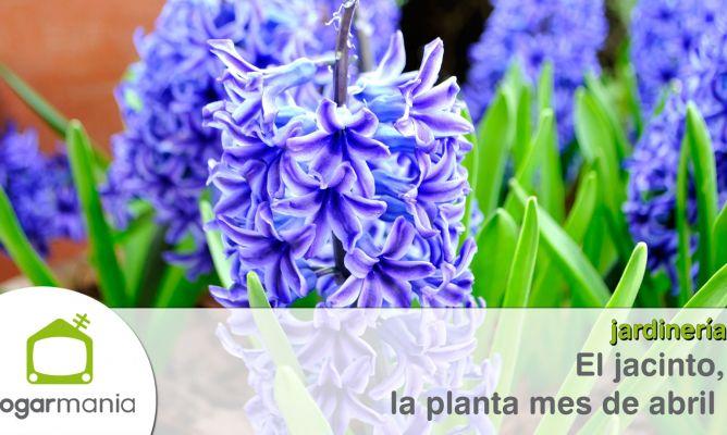 El jacinto, la planta mes de abril