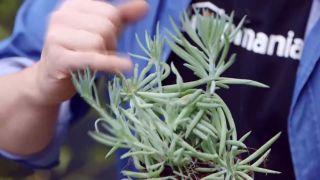Composición de plantas grisáceas en contenedores galvanizados - Senecio