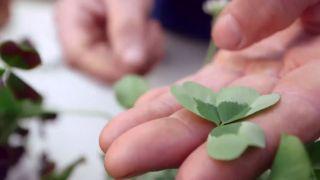 Variedades de tréboles ornamentales - Variedad de hoja verde claro