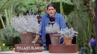 Plantas de follajes blanquecinos