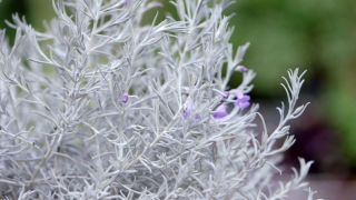 La eremophila nivea - Cuidados