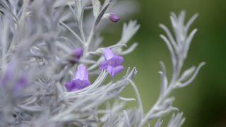 La eremophila nivea - Flor