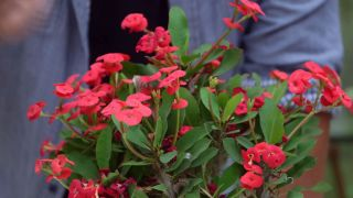 La euphorbia milii una planta con flor todo el año - Caracter´siticas