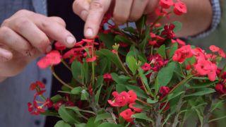 La euphorbia milii una planta con flor todo el año - Variedad común